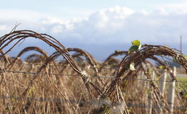 Winter Raspberry Vines Stock Photography