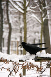 Winter raven Royalty Free Stock Photography