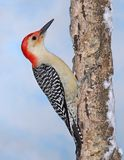 Winter Red- bellied Woodpecker Stock Photos