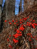 Winter: red berries oriental bittersweet. Red berries of oriental bittersweet invasive weed vine in winter Royalty Free Stock Image