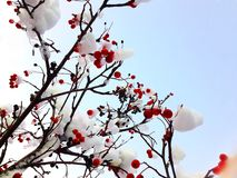 Winter red berries covered with snow. Royalty Free Stock Photos
