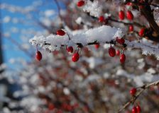 Winter berries. Winter red berry bush covered with snow Royalty Free Stock Photos