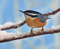 Winter Red- breasted Nuthatch (Sitta canadensis) Royalty Free Stock Photos