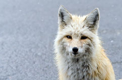 Winter Red Fox with Copy Space Stock Photo