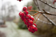 Winter Red Rowan Stock Photos