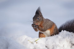 Winter red squirrel Stock Photography