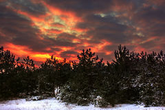Winter red sunset in the snowy pine forest Royalty Free Stock Image