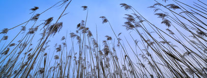 Winter reed Stock Photography