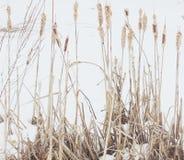 Winter reed Stock Photos
