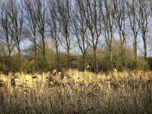 Winter Reed Bed the River Great Ouse Royalty Free Stock Photography