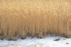 Winter reed Stock Images