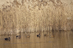 Winter reed marshes Royalty Free Stock Photos