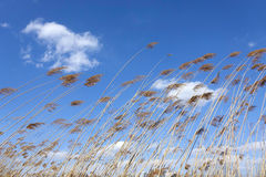 Winter reed marshes Stock Images
