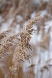 Winter reed Royalty Free Stock Images