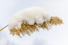 Winter reed under snow Stock Photography