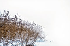 Winter reed Stock Photo