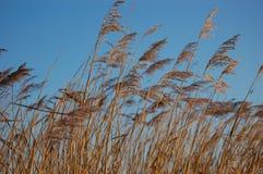 Winter Reeds Royalty Free Stock Photos