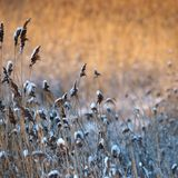 Winter reeds Stock Image