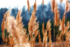 Winter Reeds Royalty Free Stock Photos