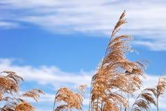 Winter reeds Stock Image