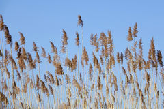 Winter reeds Royalty Free Stock Photo