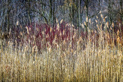 Winter reeds and forest Stock Image
