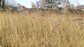 Winter reeds in Morden Hall Park wetlands. Tall brown grass-like reed plants in the wetlands sway as the wind blows during the winter months with bare trees in stock video footage