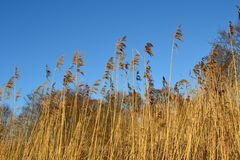 Winter reeds. Stunning shot taken on a canal walk on a crisp winters day Stock Images