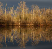 Winter Reflection. Barren trees reflecting off calm water in morning light Royalty Free Stock Images