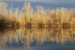 Winter Reflection. Barren trees reflecting off calm water in morning light Stock Photography