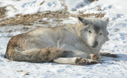 Winter Relaxing Timber Wolf Royalty Free Stock Photography