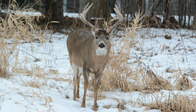 Winter Residential Deer Visitation Royalty Free Stock Photography