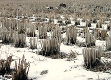 Winter rice field detail royalty free stock photography