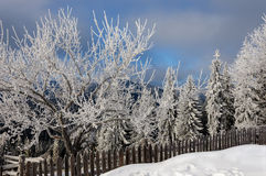 Winter rime and snow covered fir trees on mountainside Royalty Free Stock Photos