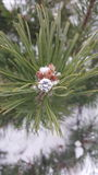 Winter Ring. Engagement ring on the end of a spruce tree branch Royalty Free Stock Photography