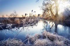 Winter river with white swan Stock Photography