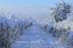 Winter. Road in a double row of hedges under the snow on a cold morning Royalty Free Stock Images
