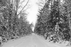 Winter road , forest with pine trees Stock Photos