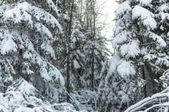Winter road , forest with pine trees Stock Photography