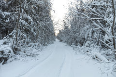 Winter road , forest with pine trees Stock Images