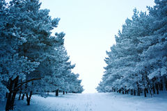 Winter road in the forest Royalty Free Stock Images