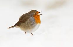 Winter Robin stock photos
