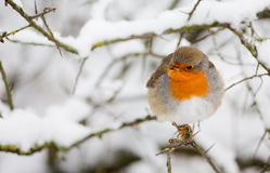 Winter Robin. Robin in a snowy landscape Stock Images