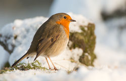 Winter Robin royalty free stock image