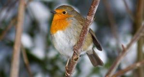 Winter Robin Lizenzfreie Stockfotos