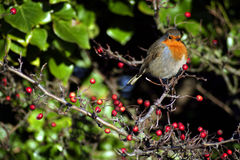 Winter Robin. A rather well fed Robin perches on a berry laden tree Royalty Free Stock Images