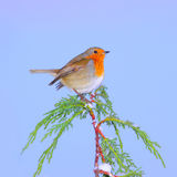 Winter Robin bird. European Robin, bird on Winter snow branch Royalty Free Stock Photo