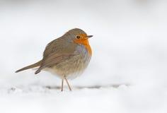 Winter Robin bird. Robin bird in a winter setting Royalty Free Stock Photo