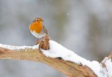 Winter Robin bird. Robin in a snowy landscape Stock Image