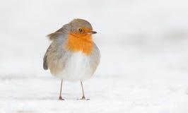 Winter Robin bird royalty free stock photo